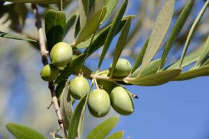 Olive_branch_WEB