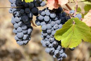 Quinta_do_Pego_grapes_WEB